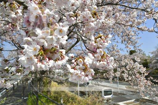 Cherry blossoms in Fukushima