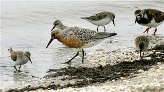 Oyster Farms Shorebirds