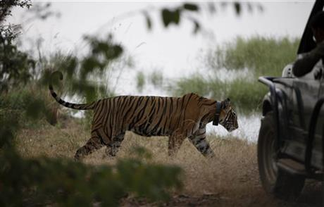 India Tiger Tourism