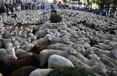 Spain Sheep Crossing