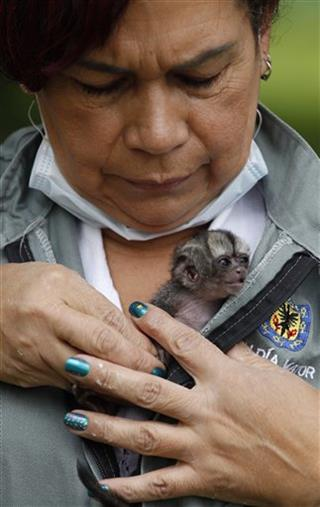Colombia Orphaned Night Monkey