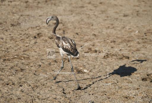 Tagging of the Flamingo chicks in Malaga, Spain - 17 Aug 2019
