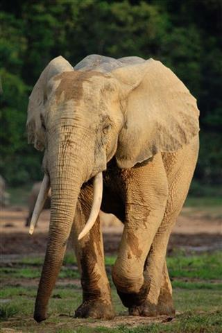 Central African Republic Elephants