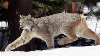 Canada Lynx-Recovery