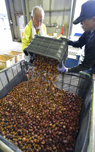 Autumn chestnuts harvested