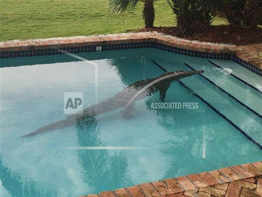 Crocodile in Pool