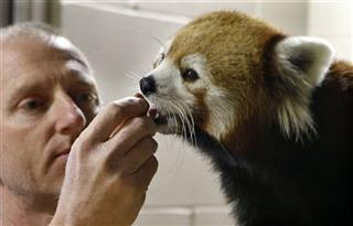 Red Panda, Ray Gamrick