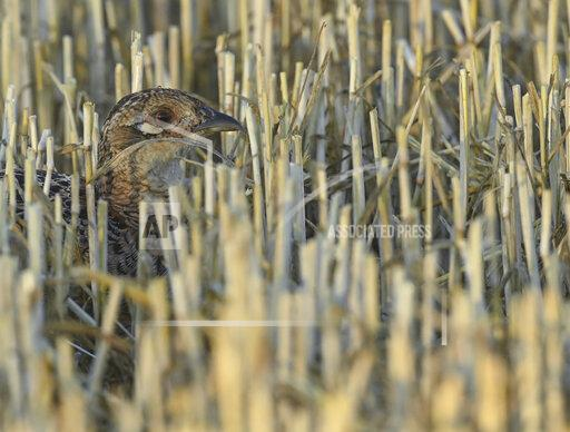 Partridge in stubble field