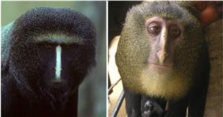Congo New Monkey Species