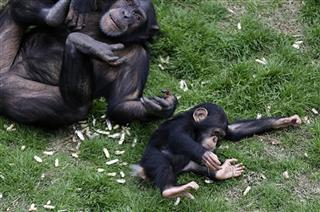 APTOPIX Chimp Rehab