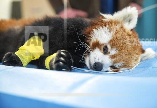 Red panda in a computer tomograph