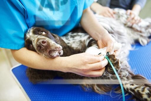 Injured dog receiving bandage in veterinary surgery
