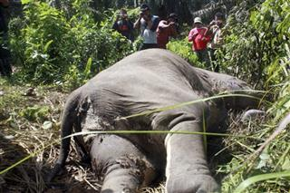 Indonesia Dying Elephants