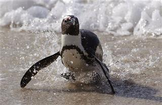South Africa Endangered Penguins