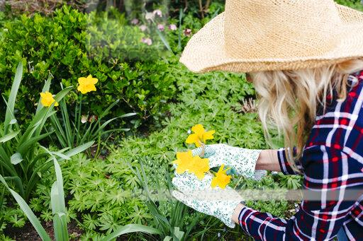 Young woman with straw hat examines daffodils with her gloves