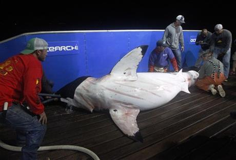 Tagging Great Whites
