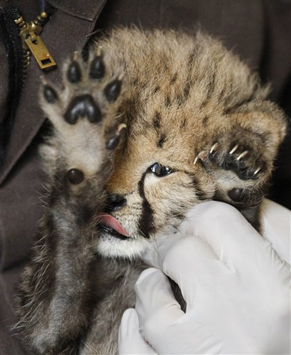 Rare Cheetah Birth