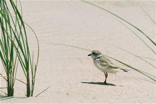 Superstorm Piping Plover
