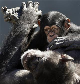 Chimps Endangered