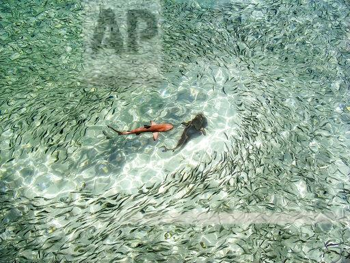Maledives, Indian Ocean, baby black tipped reef shark (Carcharhinus melanopterus) amongst shoal of fish