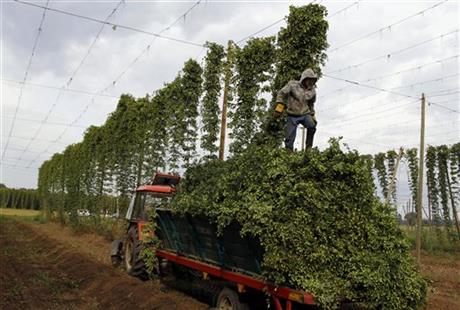 CORRECTION Czech Republic Hops Harvest