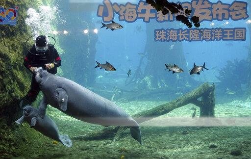 CHINA CHINESE GUANGDONG ZHUHAI CHIMELONG OCEAN KINGDOM MANATEE