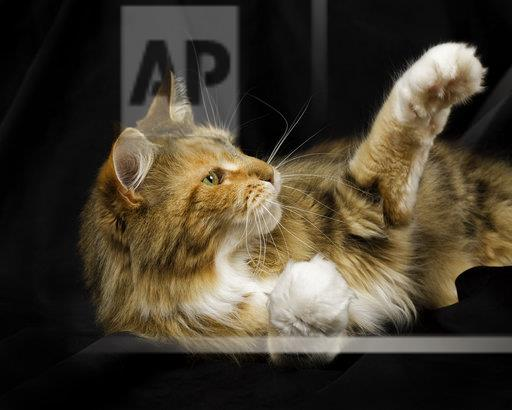 Maine Coon lying in front of black background reaching out paw