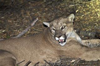 Mountain Lion Livestock Killings