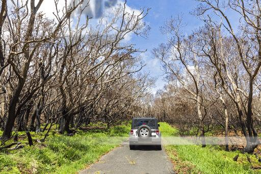 USA, Hawaii, Big Island, Mauna Loa Road, jeep, burned trees
