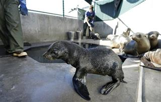 California Sea Lion Rescues