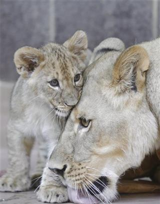 Lion Cubs Name Contest