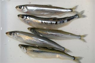Forage Fish Ban West Coast