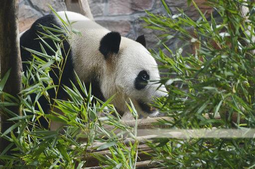 CHINA CHINESE PANDA APPETITE SUMMER DAY NANJING FOREST ZOO