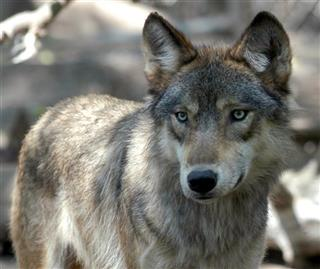 Wolf Hunt Endangered List