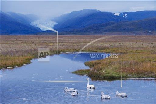 Creative AP T   Iceland 770-1573 Whooper swans (Cygnus cygnus) family, Hoffelsjokull glacier in background, north of Hofn, East Fjords region (Austurland), Icela