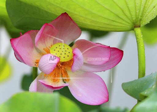 CHINESE LOTUS FLOWERS BLOSSOM XIDI HISTORY REGION ANHUI VILLAGES