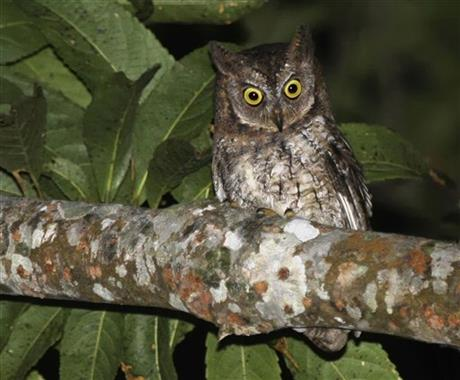 Indonesia New Owl Discovered