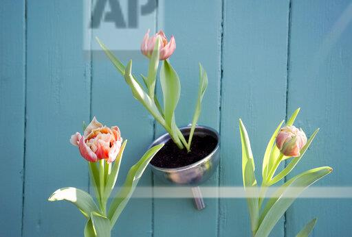 Easter decoration, flower decoration, tulips in funnel