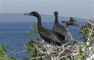 Out of Control Cormorants