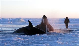 Canada-Trapped Killer Whales