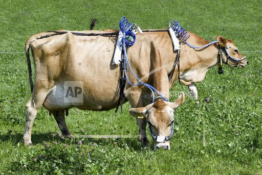 Germany Climate Cows