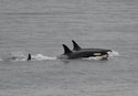 In this Saturday, Aug. 11, 2018, photo released by the Center for Whale Research, an orca, known as J35, foreground, swims with other orcas near Friday Harbor, Alaska. Researchers said J-35 an endangered killer whale that drew international attention as she carried her dead calf on her head for more than two weeks is finally back to feeding and frolicking with her pod. (Center for Whale Research via AP)