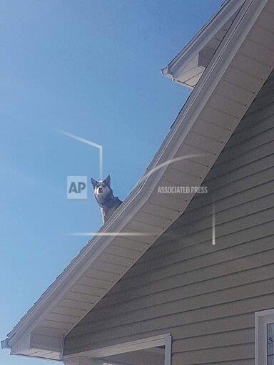 Husky Chills Out On Snowy Roof And Owners Only Find Out By A Police Phone Call
