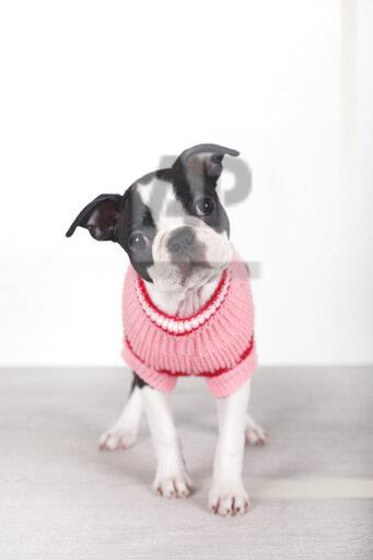 Portrait of Boston terrier puppy wearing pink pullover