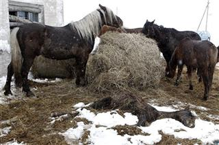 Lithuania Starving Horses