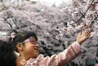 Japan-Cherry Blossoms-Photo Gallery