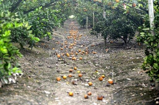 CHINA TYPHOON LEKIMA FRUIT PRODUCTION LOSS ZHEJIANG