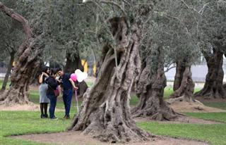Peru Ancient Olive Trees