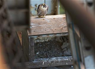 Bridge Falcon Chicks