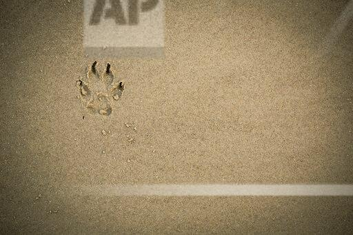 Paw print in wet sand